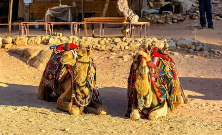 bedouin: Bedouin camels rest in the ancient city of Petra, Jordan Stock Photo