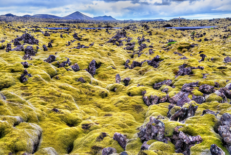 covered fields: Lava stones covered with moss in Iceland