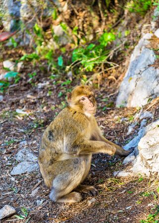 sylvanus: Barbary macaque at the Upper Rock of Gibraltar, a British Overseas Territory Stock Photo