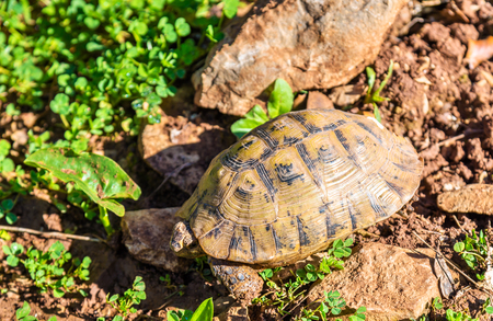 Tortoise on the ground near Moulay Idriss, Morocco Stock Photo