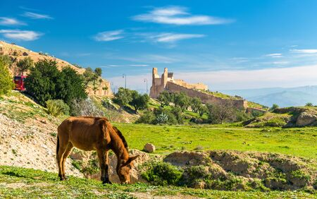 fes: Mule on a pasture in Fes, Morocco