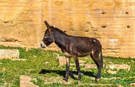 fes: Donkey at the city walls of Fes, Morocco Stock Photo