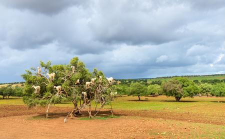 Goats graze in an argan tree - Morocco