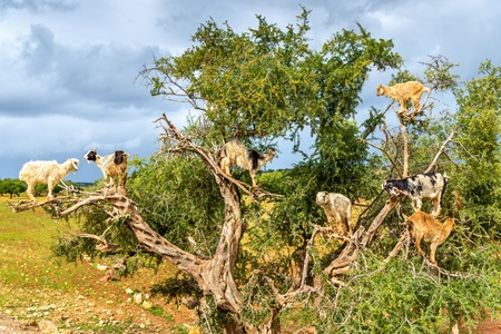 Goats graze in an argan tree - Morocco