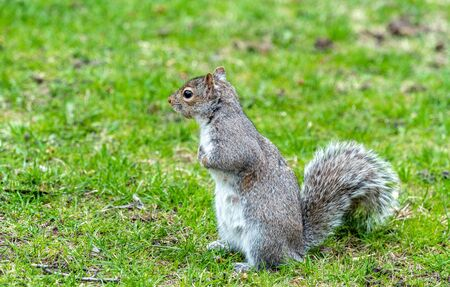 furry tail: Eastern Gray Squirrel, Sciurus carolinensis in Montreal - Quebec, Canada