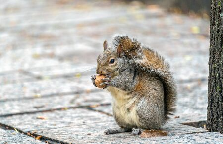 herbivores: Eastern gray squirrel eats a walnut on Trinity Square in Toronto, Canada