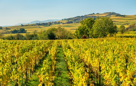 Autumn vineyards in Haut-Rhin - Alsace, France