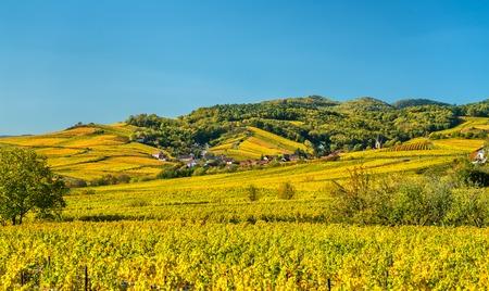 Autumn vineyards in Haut-Rhin - Alsace, France