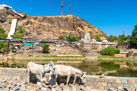 Cows at Teliya Talav lake - Pavagadh Hill in Gujarat, India Stock Photo