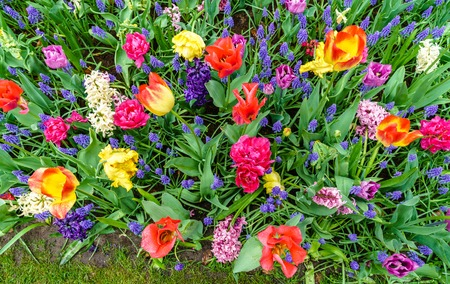 Flowers at the Keukenhof spring garden, the Netherlands. Stock Photo