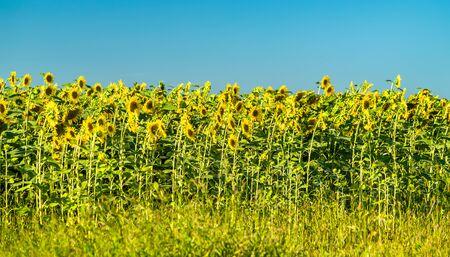 Sunflower field in Kursk Oblast of Russia
