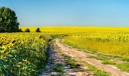 Dirt road in a sunflower field in Russia