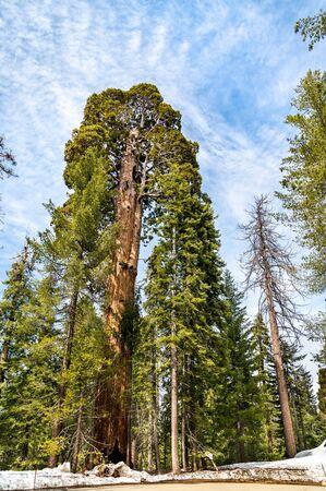 Der Riesenwald im Sequoia Nationalpark, Kalifornien Standard-Bild