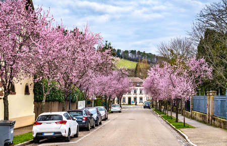 Sakura cherry blossom in Barr - Alsace, France