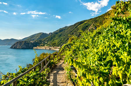 Pathway in vineyards at Manarola - Cinque Terre, Italy