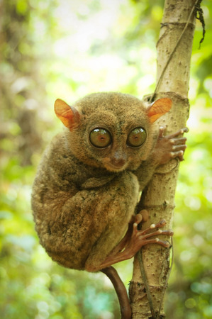freaked: phillipine tarsier in tropical forest . Stock Photo