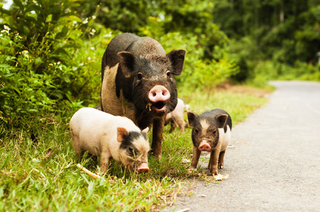 piglets: cute pig with piglets on countryside road.