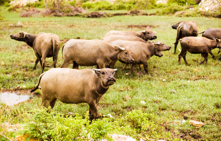 buffalo grass: Water buffalo  on green grass.