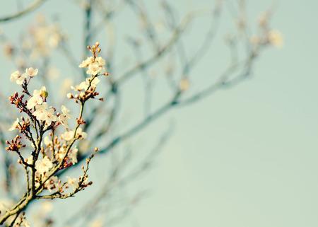 sky brunch: Spring blooming white cherry brunch on blue sky background. Instagram filter effect