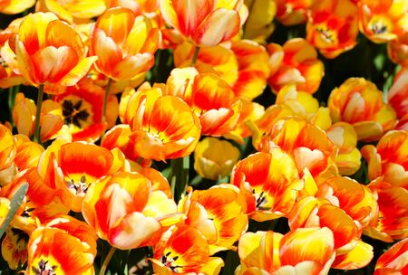 bicolored: Bunch of bi-colored tulips. Yellow and orange combination.