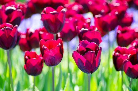 queen bed: Beautiful field of dark tulips in spring sunlight.