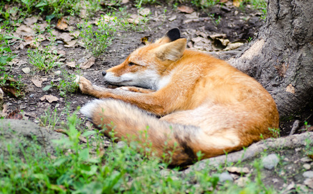 Beautiful red fox resting on the tree roots. Selective focus.