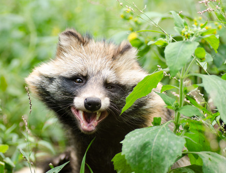 Funny face of smiling raccoon dog. Stock Photo