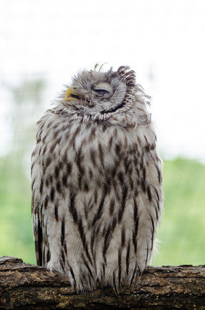 Tawny owl sleeping on the tree branch.