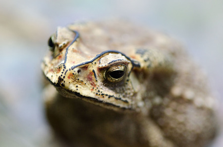 Close-up of big toad. Shallow depth of field.