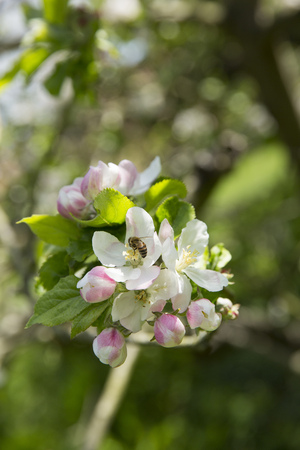 Blossom on the apple tree upon which the apple is said to have fallen on Sir Isaac Newtons head in the grounds of Woolsthorpe Manor, Colsterworth, Lincolnshire, UK - Spring 2016 Editorial