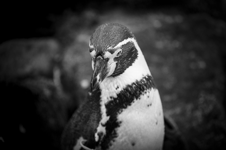 Close up of a Humboldt South American Penguin  Stock Photo