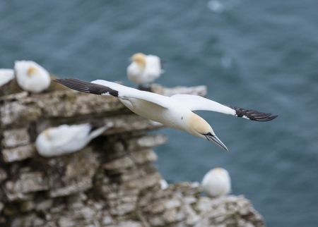 Gannet flying over the North Sea near Bempton Cliffs, Yorkshire, UK.