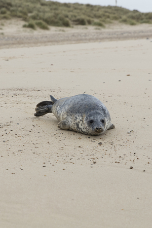 Seals in Winter on the beach, Horsey, Norfolk, UK in the evening, December 2015