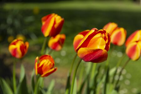 Red and Oranges Tulips in Gedney, South Holland, Lincolnshire, United Kingdom Stock Photo