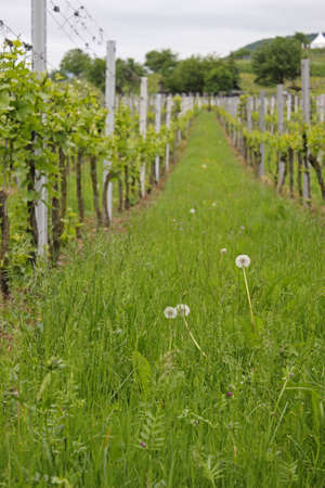 winegrowing: Wine-growing Stock Photo