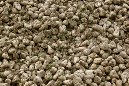 sugarbeets photo