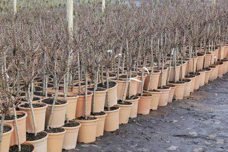 plant nursery: trees in a plant nursery