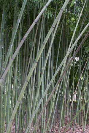 gramineous: bamboo Stock Photo