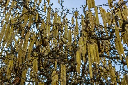 hazelnut tree: hazelnut tree