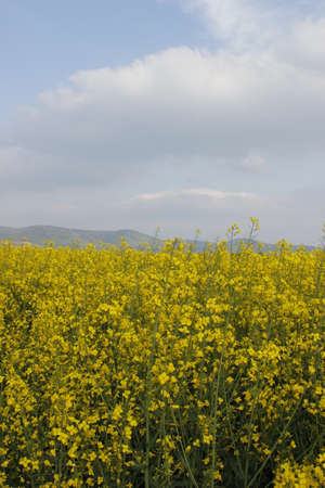 agro: rapeseed field
