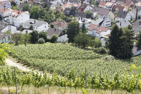 wine grower: vineyard Stock Photo