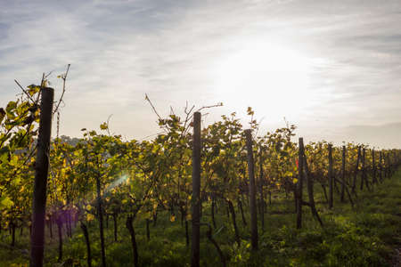 momentariness: autumn in the vineyard Stock Photo