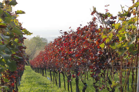momentariness: autumn in the vineyard Stock Photo