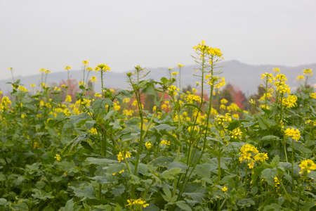 momentariness: rapeseed in autumn Stock Photo