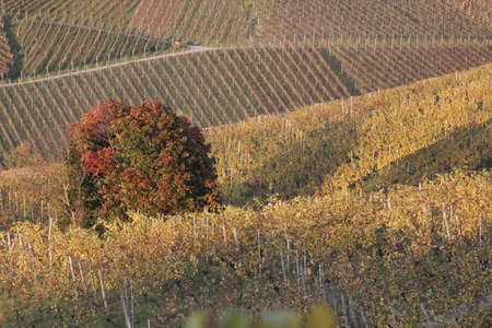 momentariness: vinyard in autumn