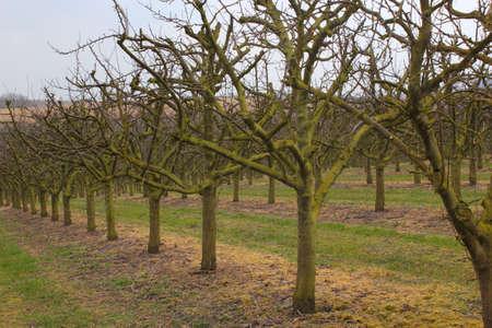 tree plantation: apple tree plantation Stock Photo