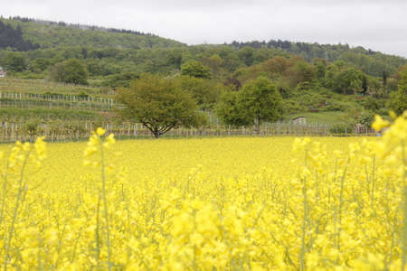 agro: Rapeseed field Stock Photo