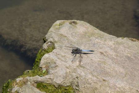 odonata: dragonfly