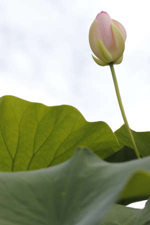 hydrophobic: lotus