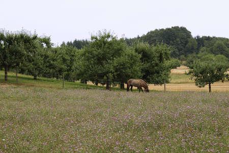 paddock: horse on a paddock